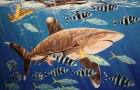 Oceanic Whitetip Sharks